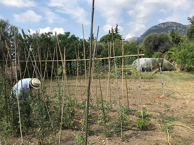 tomates campagne